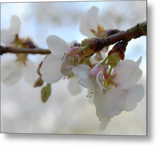 Dogwood Branch Pink Metal Print