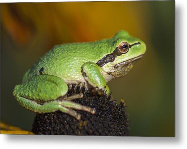 Treefrog On Rudbeckia Metal Print