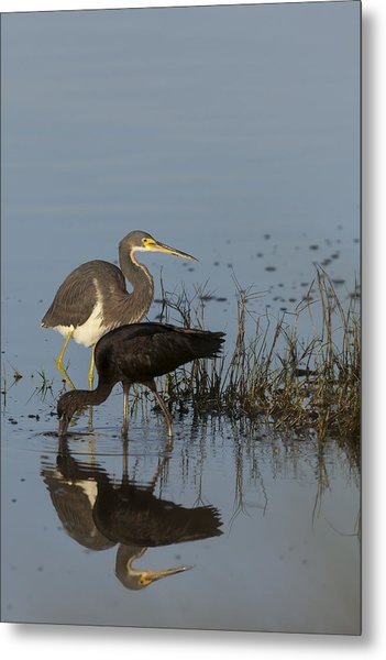 Tri-colored Heron And Glossy Ibis Metal Print