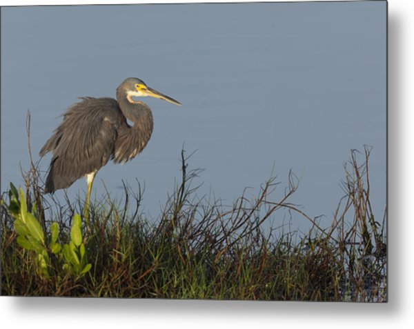 Tri-colored Heron In The Morning Light Metal Print