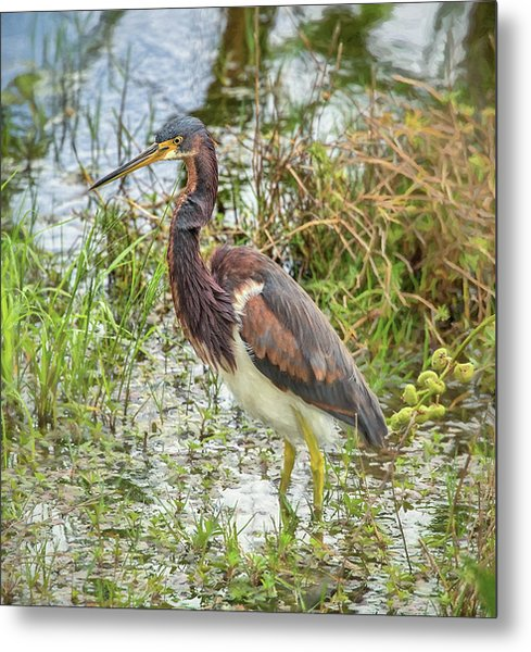Tri-colored Heron Metal Print