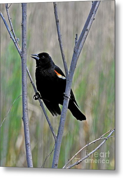 Tricolored Blackbird Metal Print