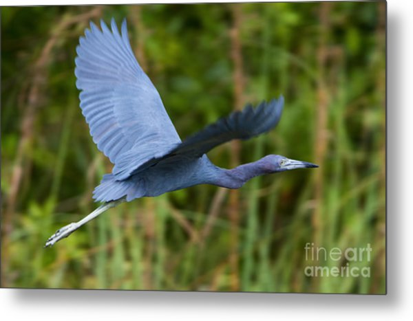 Tricolored Heron Flight Metal Print