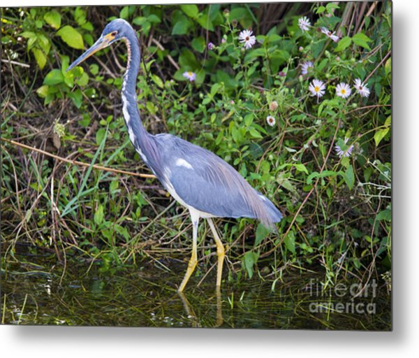 Tricolored Heron Hunting Metal Print
