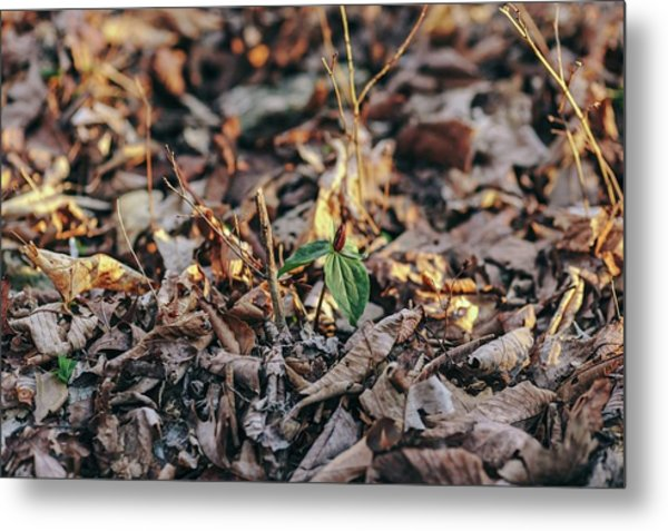 Trillium Blooming In Leaves On Forrest Floor Metal Print