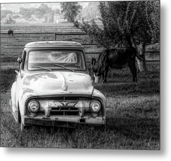Truck And Cows Living Together Bw Metal Print