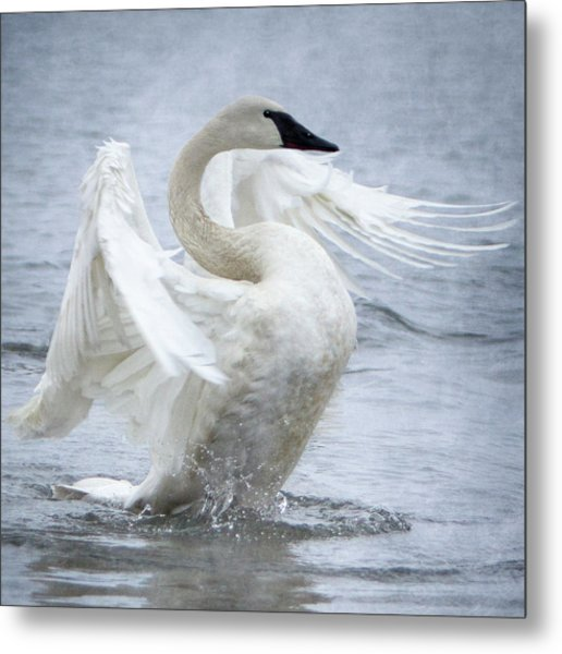 Metal Print featuring the photograph Trumpeter Swan - Misty Display 2 by Patti Deters