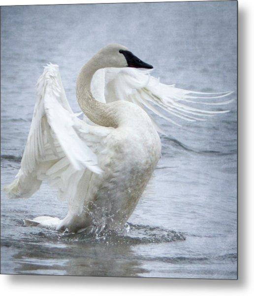 Trumpeter Swan - Misty Display 2 Metal Print