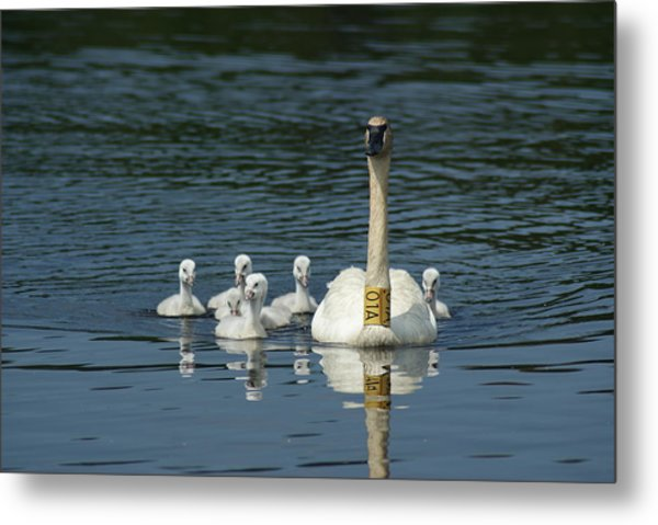 Trumpeter Swan With Cygnets Metal Print by Ron Read