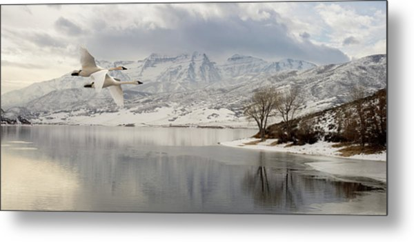 Trumpeter Swans Wintering At Deer Creek Metal Print