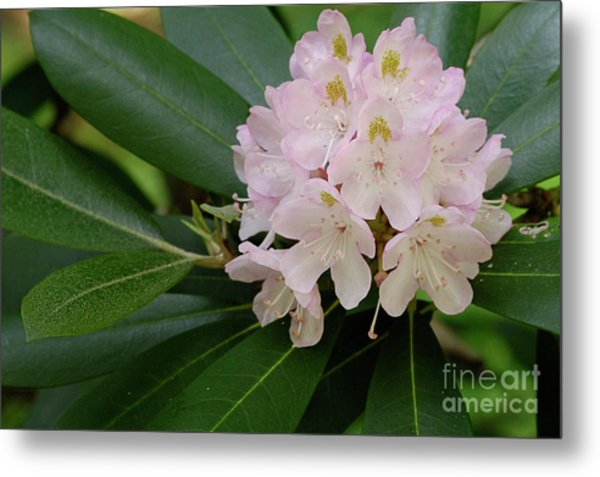 Tucker County Rhododendron Metal Print