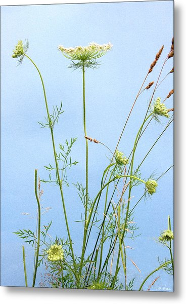 Tuft Of Queen Anne's Lace Metal Print