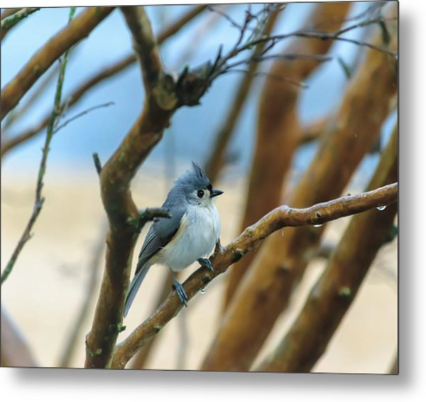 Tufted Titmouse In Tree Metal Print