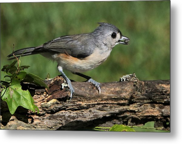 Tufted Titmouse On Tree Branch Metal Print