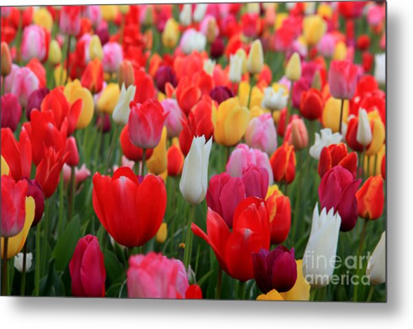 Metal Print featuring the photograph Tulip Color Mix by Peter Simmons