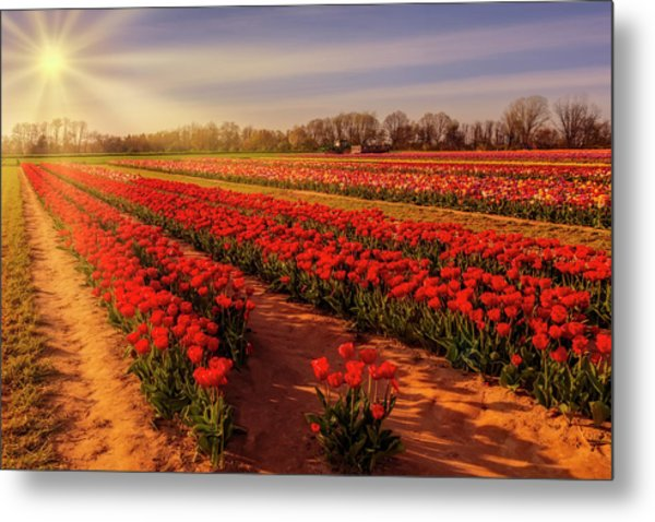 Metal Print featuring the photograph Tulip Farm Sunset by Susan Candelario