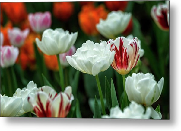 Metal Print featuring the photograph Tulip Flowers by Pradeep Raja Prints