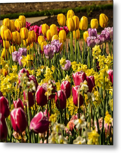 Tulip Spring Metal Print