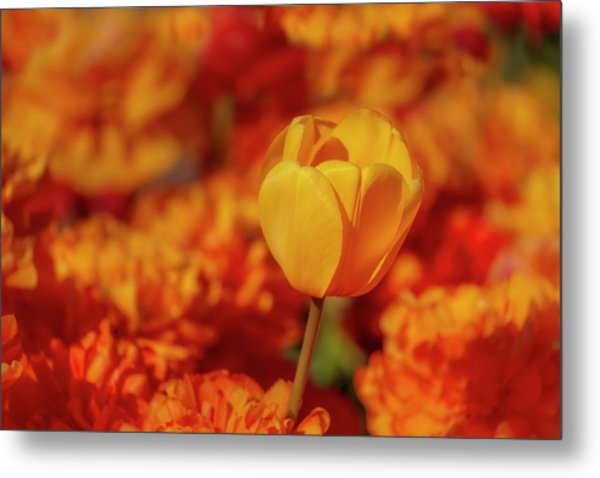 Metal Print featuring the photograph Tulip Standout by Susan Candelario