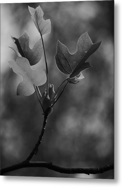 Tulip Tree Leaves In Spring Metal Print