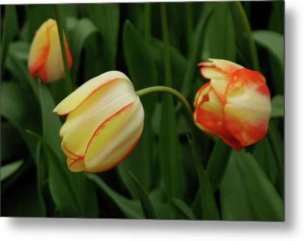 Nodding Tulips Metal Print