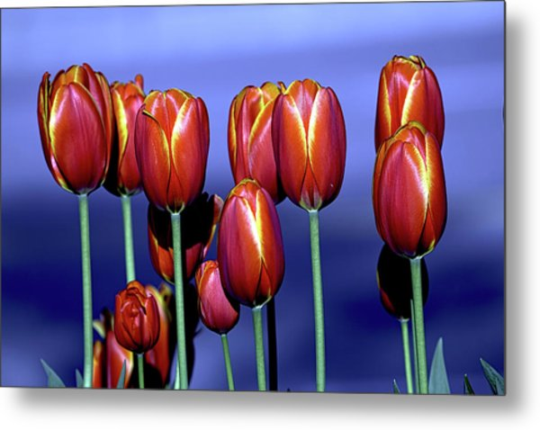 Tulips At Attention Metal Print