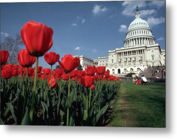 Tulips At The Capitol Metal Print by Carl Purcell