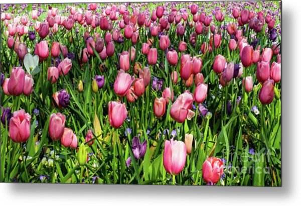 Tulips In Bloom Metal Print