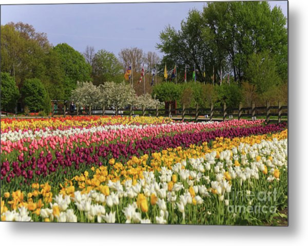 Tulips In Rows Metal Print