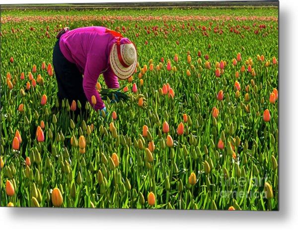 Tulips Picker Metal Print