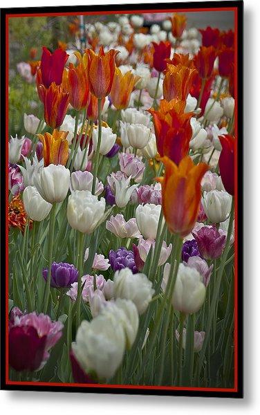 Tulips... Tulips... Everywhere Metal Print