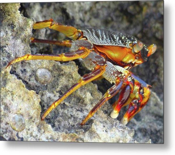 Turtle Bay Resort Watamu Kenya Rock Crab Metal Print