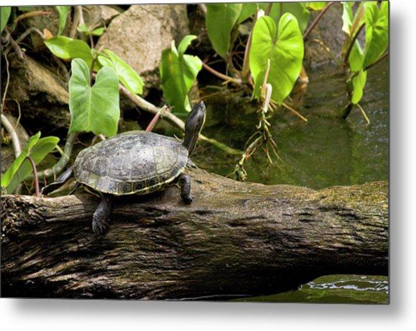 Turtle On Rock Metal Print