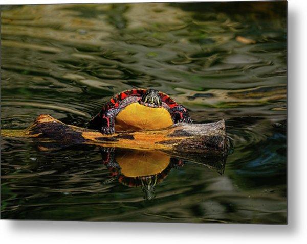 Turtle Taking A Swim Metal Print