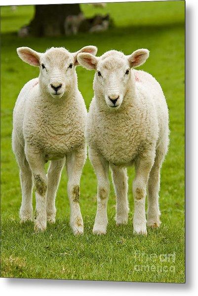 Twin Lambs Metal Print