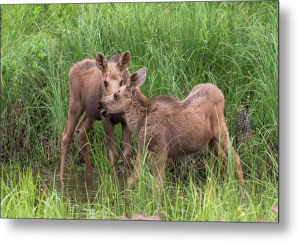 Twin Moose Playing In The Water Metal Print