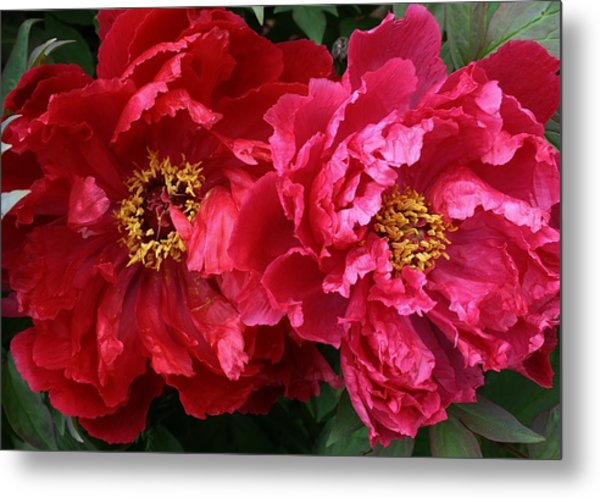 Twin Peonies Metal Print