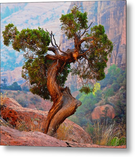 Twisted, Cedar Pine, Zion National Park, Utah Metal Print