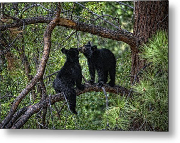 Two Bear Cubs Kissing Up A Tree Metal Print by Paul W Sharpe Aka Wizard of Wonders