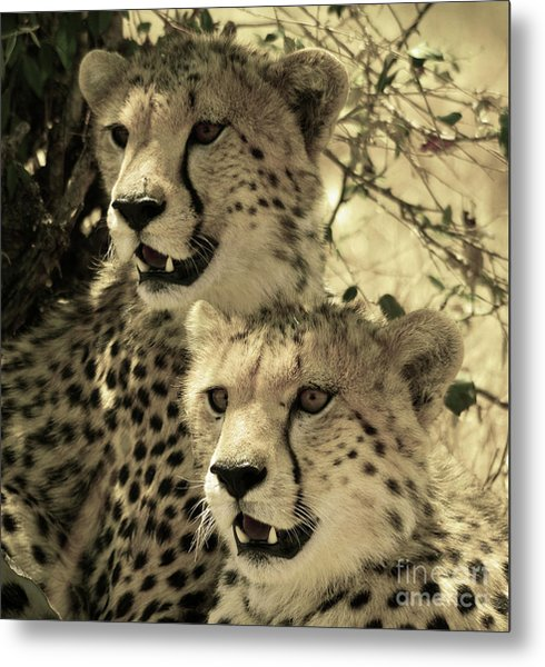 Two Cheetahs Metal Print