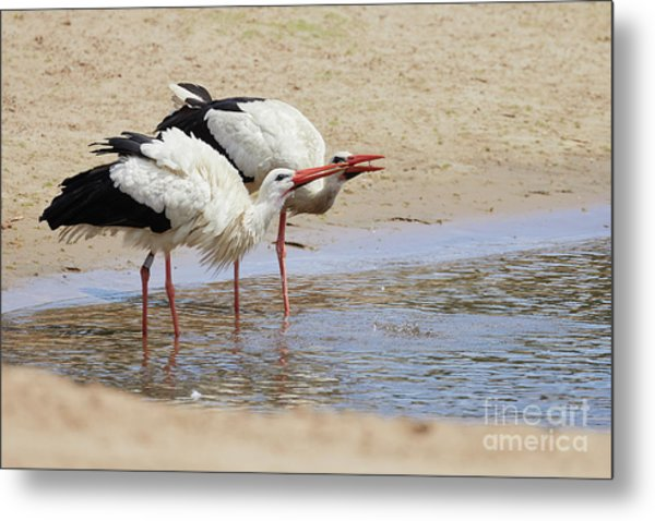 Two Drinking White Storks Metal Print