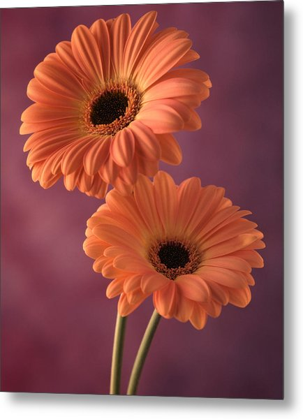 Two Gerberas 2 Metal Print by Joseph Gerges