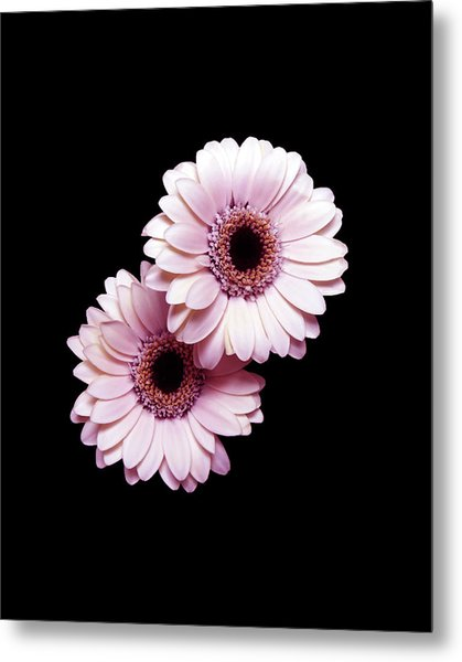 Two Gerberas On Black Metal Print