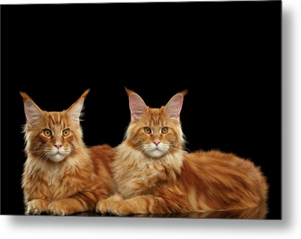 Two Ginger Maine Coon Cat On Black Metal Print