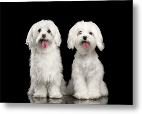 Two Happy White Maltese Dogs Sitting, Looking In Camera Isolated Metal Print