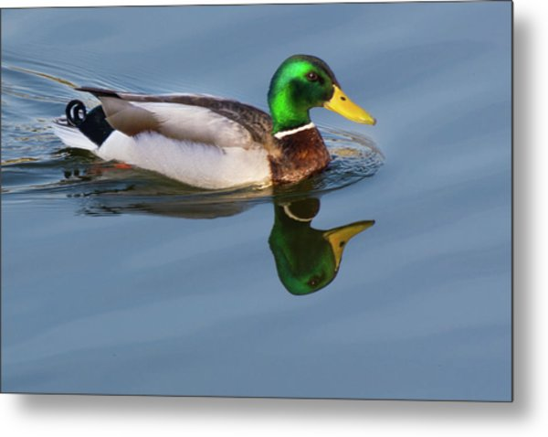 Two Headed Duck Metal Print
