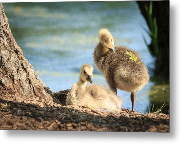 Two Little Goslings Metal Print
