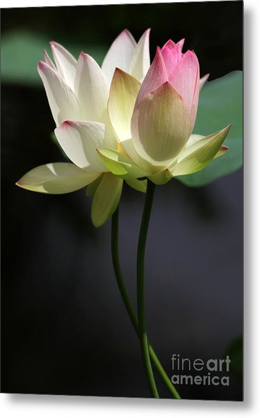 Two Lotus Flowers Metal Print