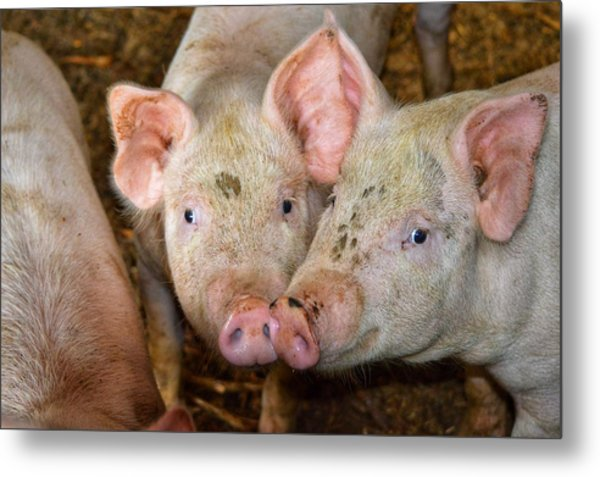 Two Pigs Metal Print