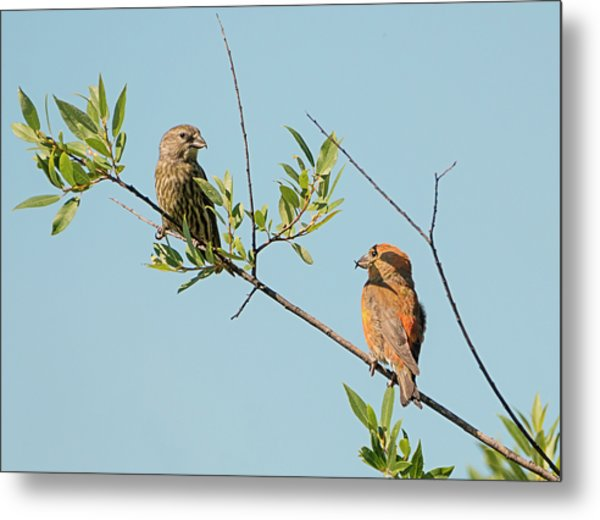 Two Red Crossbills Metal Print